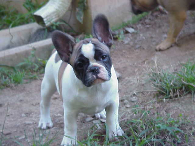 Puppy Gallery © Hallmark French Bulldogs