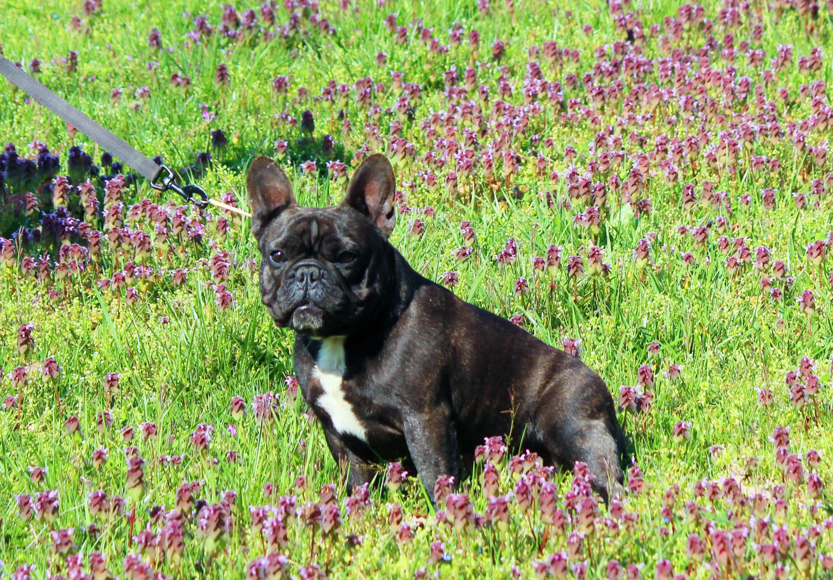 © Hallmark French Bulldogs